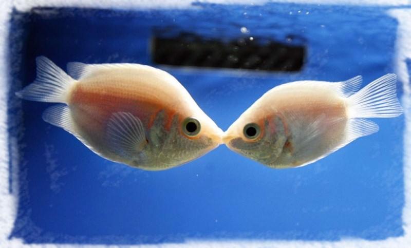 хелостомовые рыбы