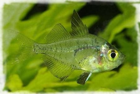 центропомовые рыбы