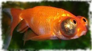 небесное око рыбка звездочет