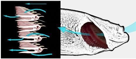 как дышит рыба