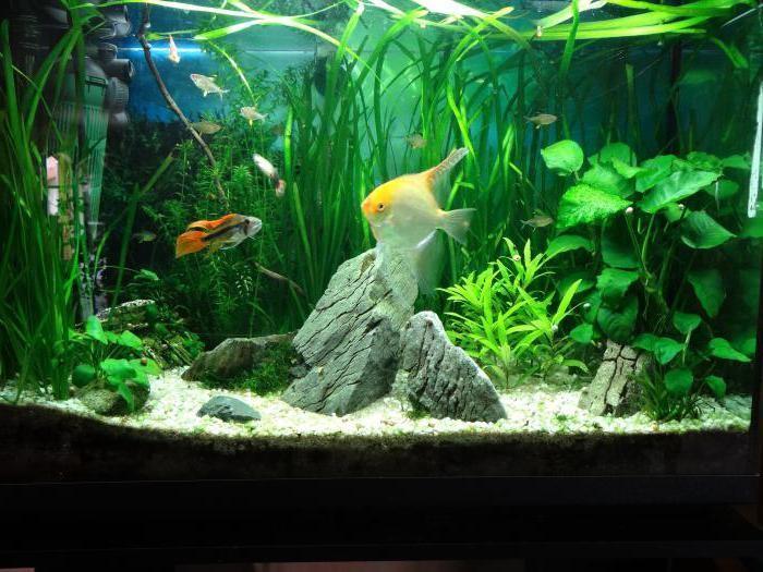 аквариумное растение валлиснерия спиральная