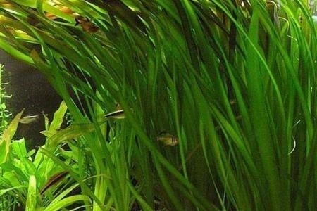 листья гигантской валлиснерии
