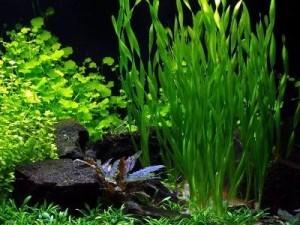 валлиснерия спиральная и другие растения