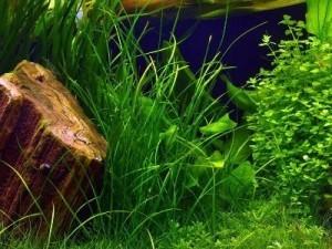 валлиснерия нана и другие растения