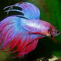 приснились аквариумные рыбки