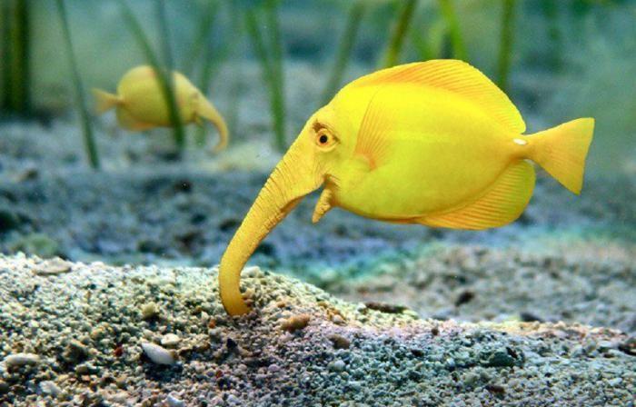 Рыба слон