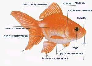 строение тела золотой рыбки