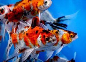 Золотые аквариумные рыбки – виды9