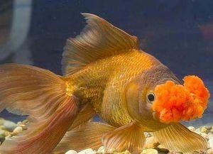 Золотые аквариумные рыбки – виды10