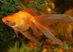 Золотые аквариумные рыбки – виды