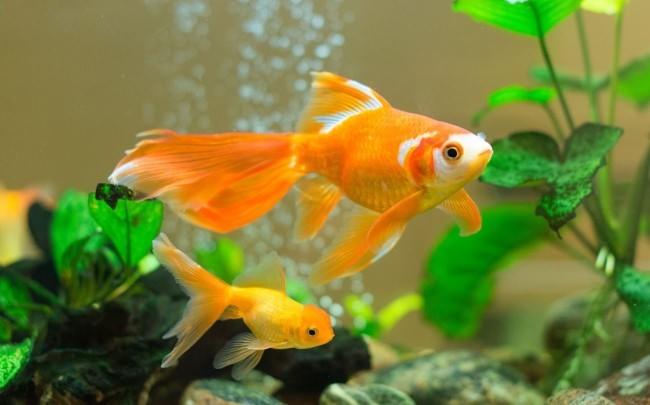 Две золотые рыбки.
