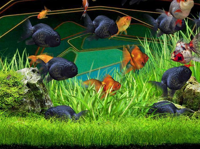 разновидности аквариумных золотых рыбок