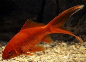 Золотые аквариумные рыбки – виды1