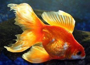 Золотые аквариумные рыбки – виды2
