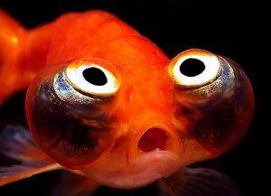 Золотые аквариумные рыбки – виды3