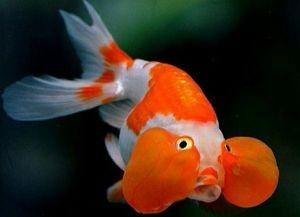 Золотые аквариумные рыбки – виды4