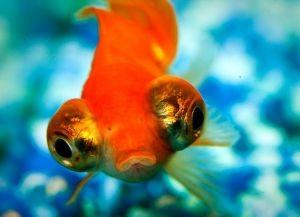 Золотые аквариумные рыбки – виды5