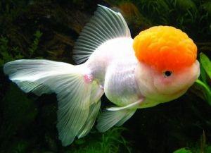Золотые аквариумные рыбки – виды6