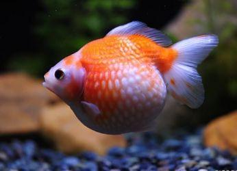 Золотая рыбка жемчужинка