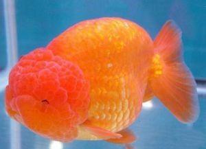 Золотые аквариумные рыбки – виды8