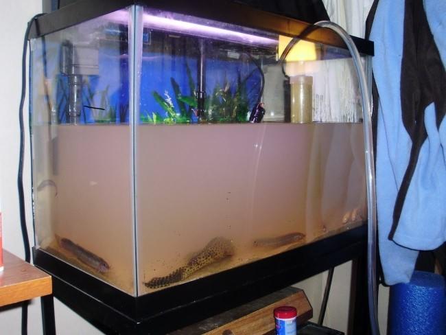 Помутнение воды в аквариуме.