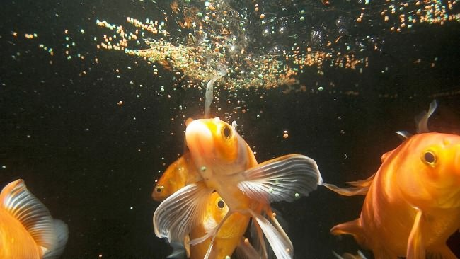 Кормление аквариумных золотых рыбок.