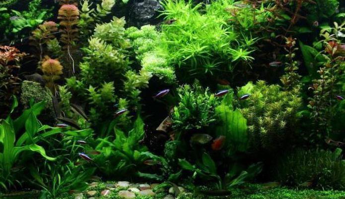 водоросли для аквариума