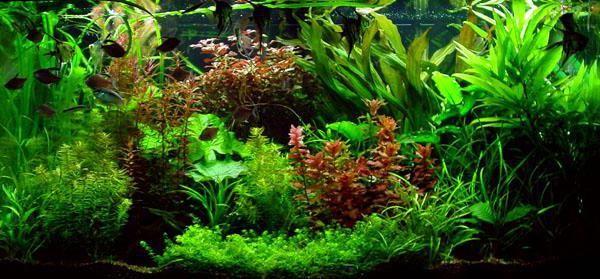 водоросли в аквариуме виды фото и названия