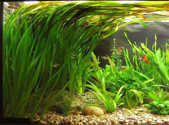 синие водоросли аквариуме
