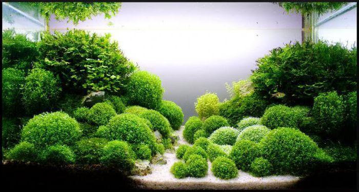 водоросли в аквариуме виды