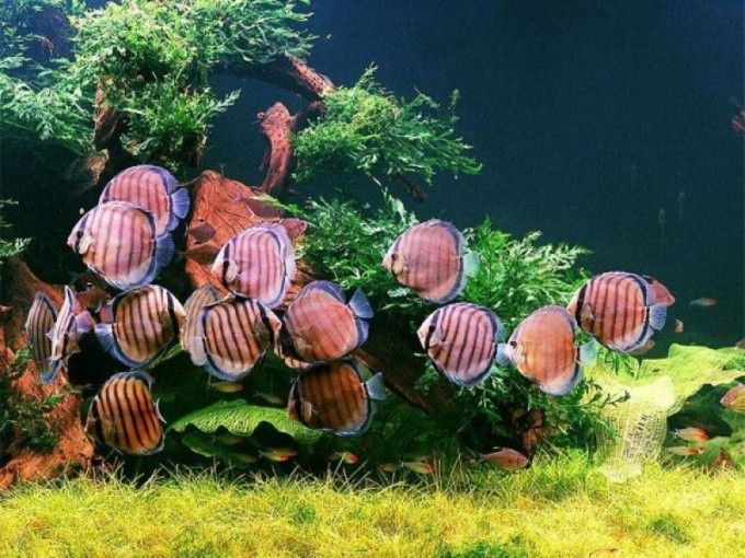 Почему цветет вода в домашнем аквариуме