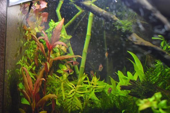 драцена в аквариуме
