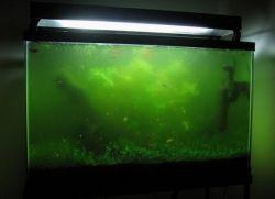 в аквариуме зеленеет вода что делать