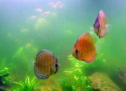 почему зеленеет аквариум 1