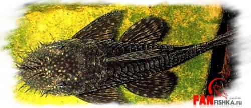 черные рыбки