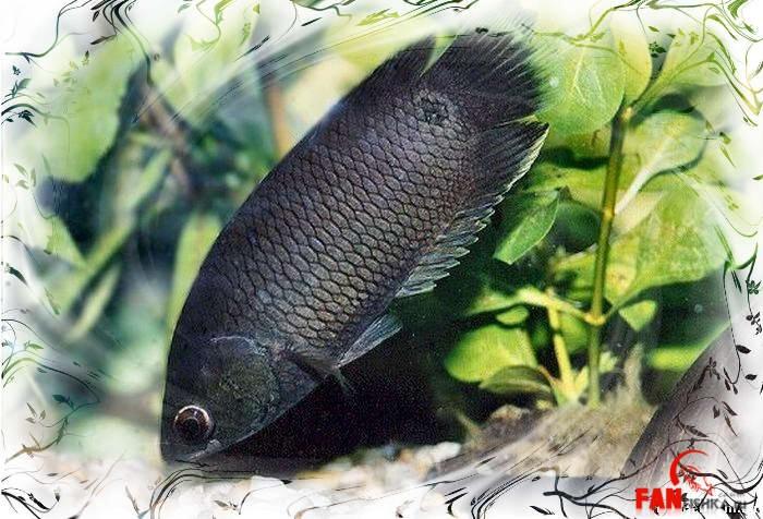 черная рыбка
