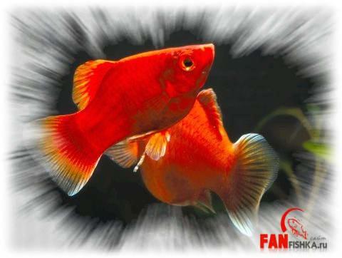 рыбки цвета крови