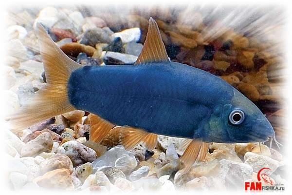 синяя рыба