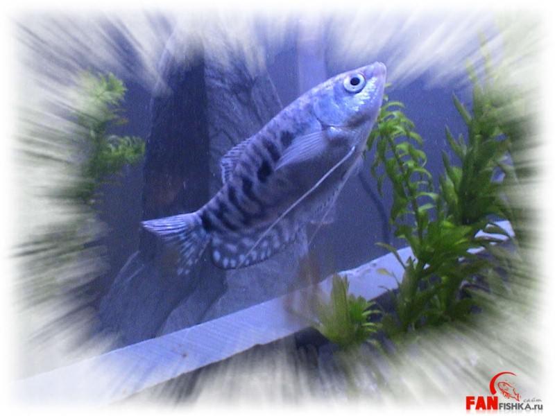 темно-синяя рыбка
