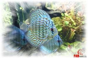 рыбка небесного цвета