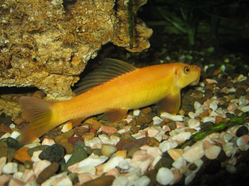 желтенькая рыбка
