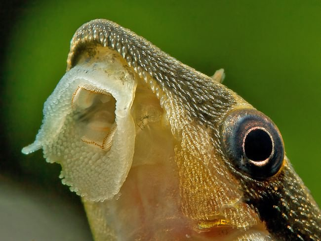 Otocinclus cocama голова.