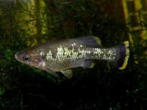 живородящая рыбка амека