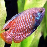 какие живородящие аквариумные рыбки