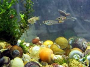 аквариумные рыбки живородящие