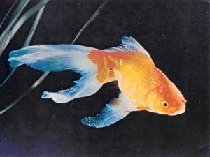 комета аквариумная рыбка