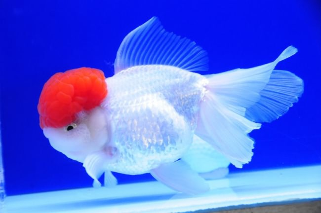 Tancho oranda в аквариуме.
