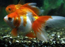 Золотые рыбки — размножение