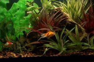 Золотые рыбки: содержание в домашних условиях