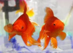 Золотые рыбки: уход и содержание